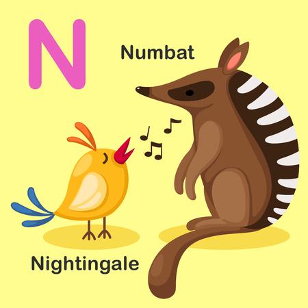 ruiseñor: Ejemplo aislado animal del alfabeto de la letra N-Numbat, Nightingale.Vector