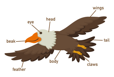 vocabulary: Illustration of eagles vocabulary part of body vector