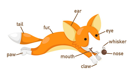 big toe: Illustration of fox vocabulary part of body vector