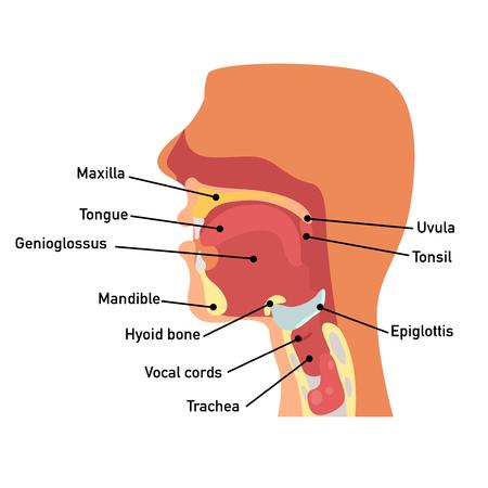 Anatomía de la garganta, ilustración vectorial.