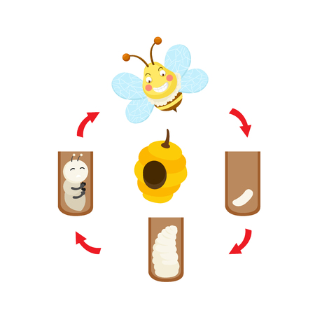 Illustration life cycle bee vector