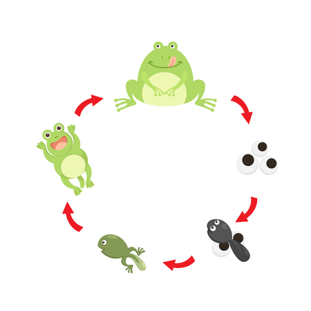Illustration life cycle frog vector Illustration