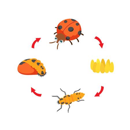 Illustration life cycle ladybug