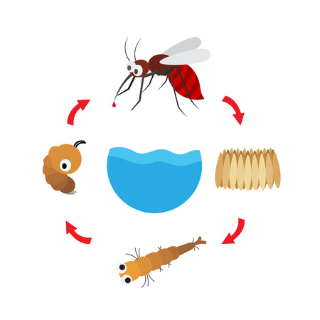 Illustration life cycle mosquito vector Çizim