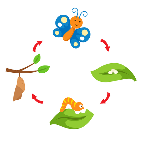 Illustration of butterfly  life cycle. Stock Vector - 98261635