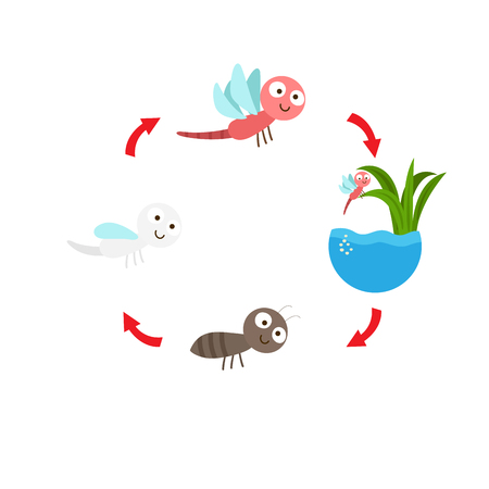 Illustration of dragonfly life cycle.