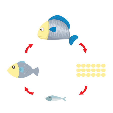 Illustration of fish life cycle.