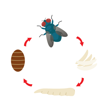 Illustration of housefly life cycle.