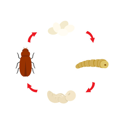 Illustration of mealworm life cycle.
