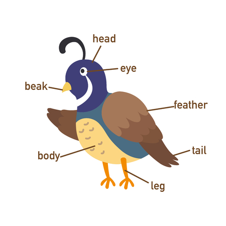 Illustration of quail vocabulary part of body.vector