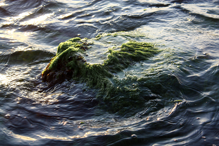 Partially submerged algae and seaweed covered rocky outcropping Stock Photo