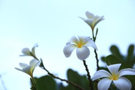spp: Plumeria spp, lilavadee Stock Photo