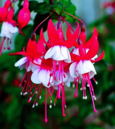 fuchsia flower: Fuchsia
