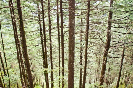 Pine Trees on Steep Slopes of Beacon Rock - Beacon Rock State Park, WA Banco de Imagens