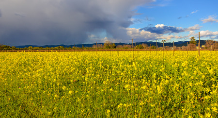 Wild Mustard-Yellow Flowers Herald the Coming of Spring - Wine Country, Napa Valley, California Stock Photo