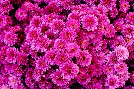 Mums, Small Wonder Button, Chrysanthemum