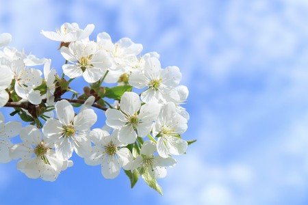 Flower of cherry against blue sky