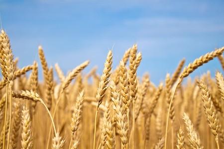 Champ de blé or