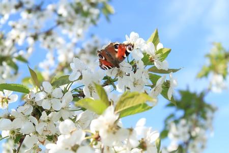 Monarch butterfly on cherry flower