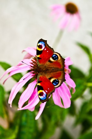 Monarch butterfly on pink Echinacea Stock Photo
