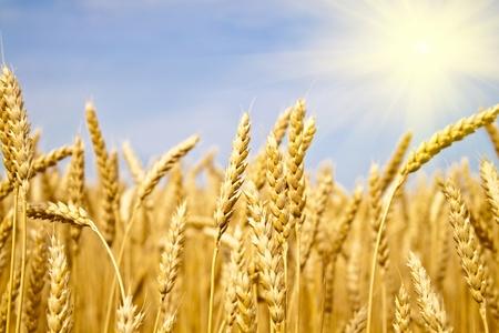field of yellow wheat in sun rays photo