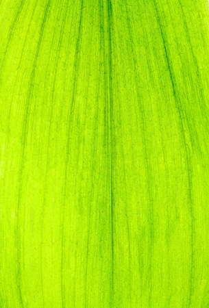 Close up of Green Leaf Texture use as a Background  photo