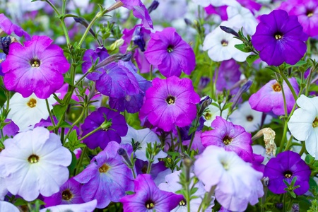 Colorful petunias close-up, selective focus