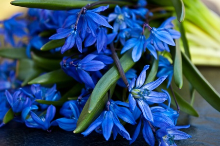 Beautiful blue snowdrops photo