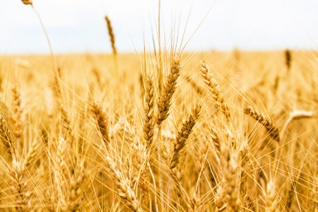 grain fields: Gold wheat field