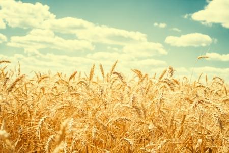 Gold wheat field and blue sky Standard-Bild