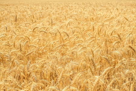 Gold wheat field and blue sky Stock Photo - 15616372