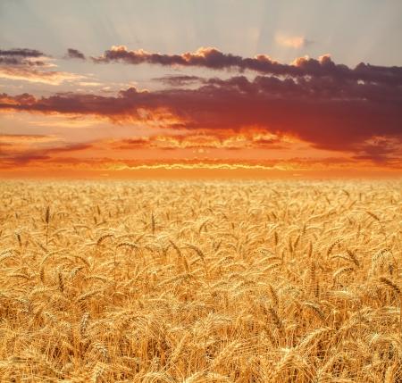 Wheat field at sunset photo