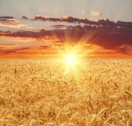 Champ de blé au coucher du soleil Banque d'images