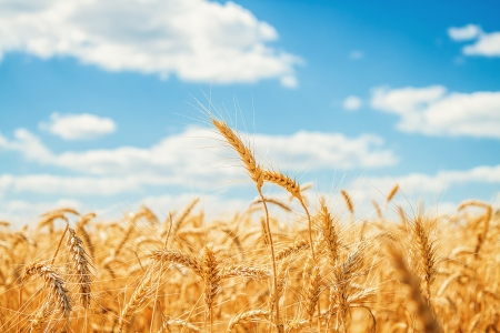 grain fields: Gold wheat field and blue sky Stock Photo