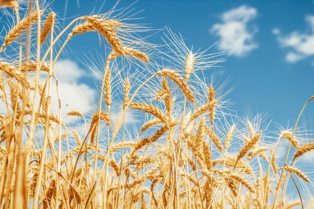 Gold wheat field and blue sky photo