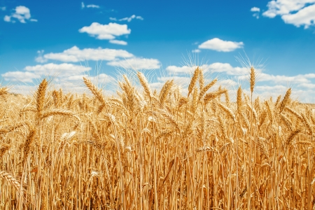 summer field: Gold wheat field and blue sky Stock Photo