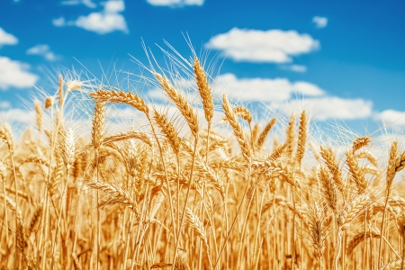 Gold Weizenfeld und blauer Himmel