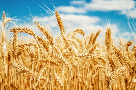 cebada: Campo de trigo de oro y cielo azul