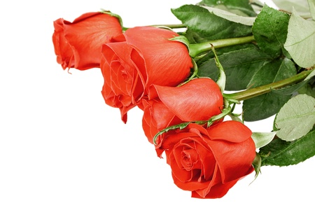Red roses isolated on white photo