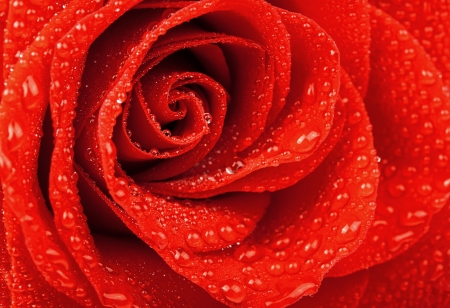 Red rose with water drop photo
