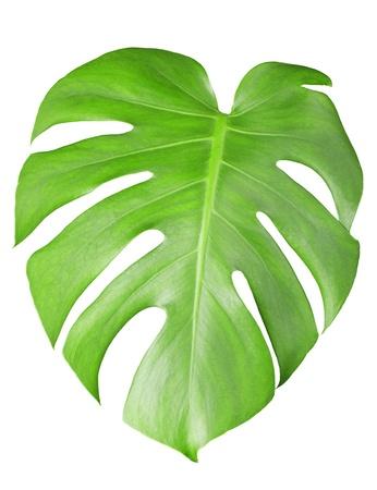 À grandes feuilles vertes de la plante Monstera isolé sur blanc Banque d'images