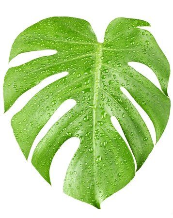 Big green leaf of Monstera plant with water drops isolated on white. photo