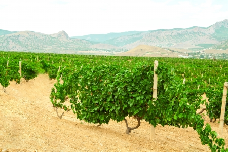 Vineyard landscape in mountains photo