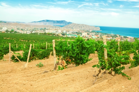 Vineyard landscape in mountains on the seashore photo