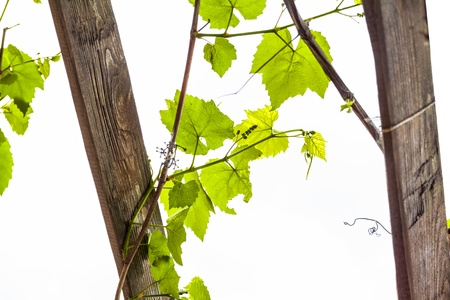 Grapevine on white background Stock Photo - 17313630