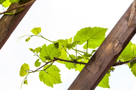 Grapevine on white background Stock Photo - 17313618