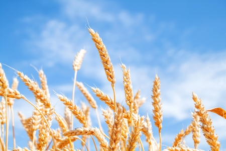 Gold wheat field and blue sky Stock Photo