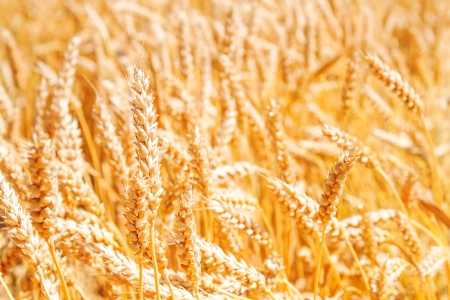 Gold wheat field Stock Photo - 17313628