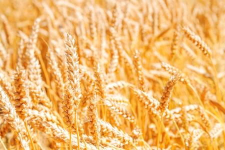 Gold wheat field Stock Photo - 17313628