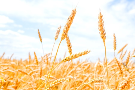 Gold wheat field and blue sky Stock Photo - 17313639